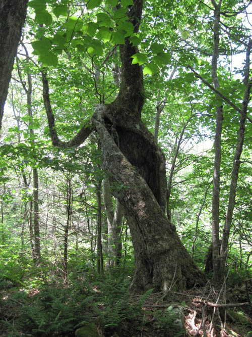 Twisted Gnarley Tree