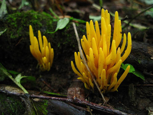 Yellow Coral Fungus